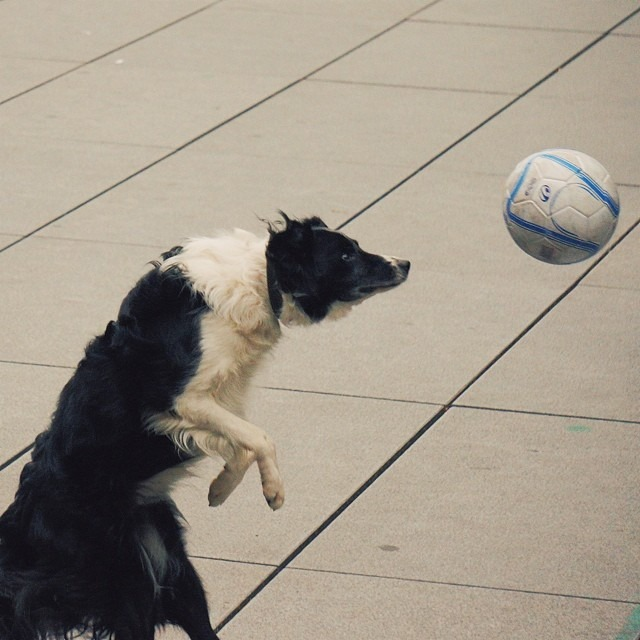 #France has already started tryouts for their 2018 #worldcup team #vscocam C2 #dogstagram #dog #football #soccer