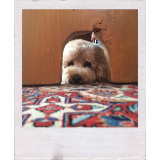 #peekaboo #maltipoo #dog #dogstagram #afterlight