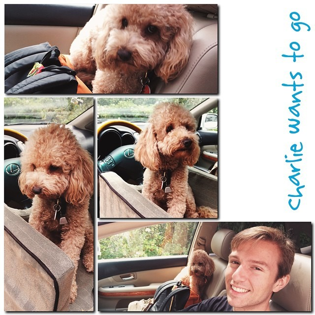 He's headed off for his senior year. Charlie jumped in the car and wouldn't come out. #emptynest again @lewisandclarkcollege #maltipoo #dog #dogstagram #vscocam LV3 #moldiv #collage