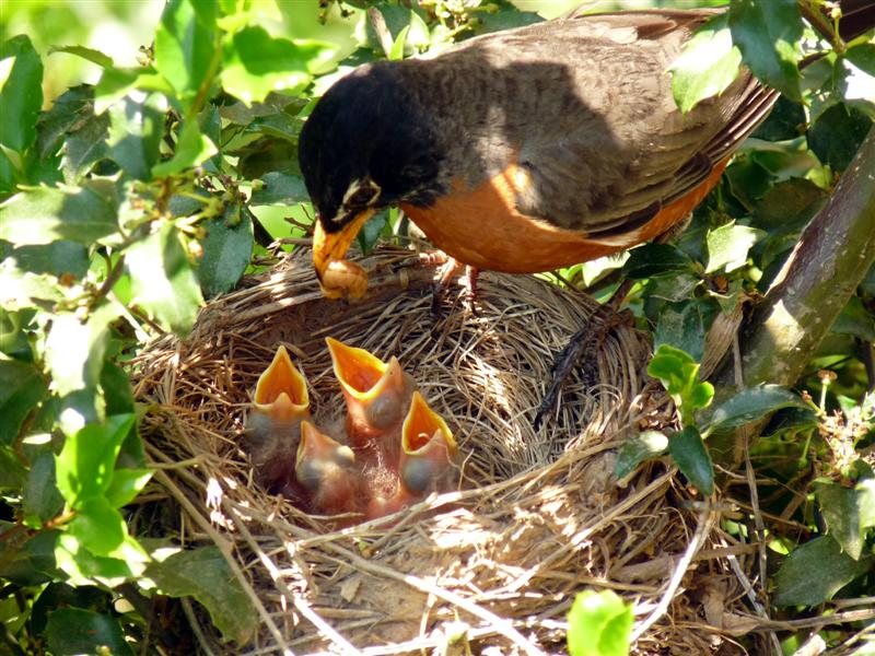 Robin feeding 4 chicks - ButterYum
