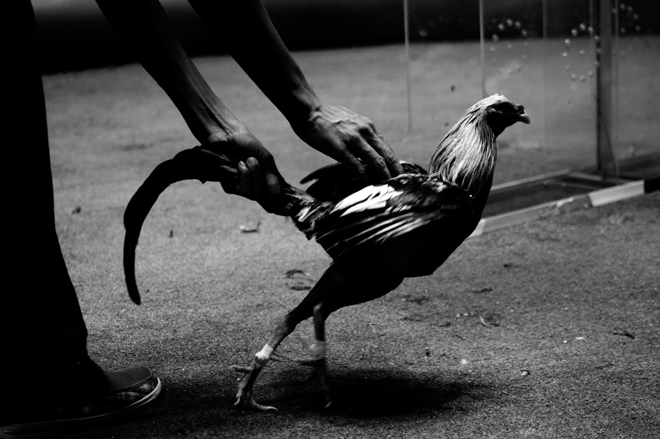 A young trainer holds his gamecock by the tail while attempting to agitate the bird just before its fight.