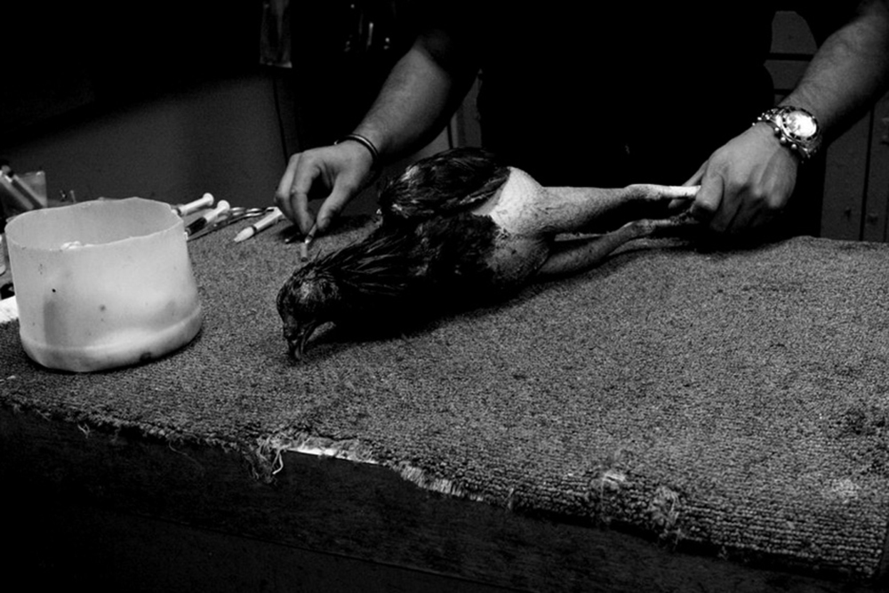 A worker prepares to inject a gamecock with antibiotics after its recent fight.
