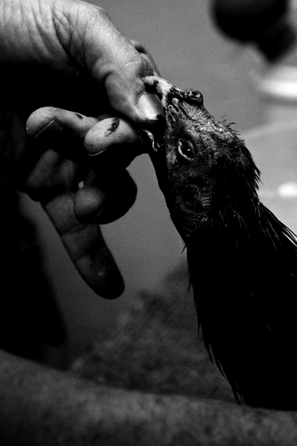 A worker examines a bird shortly after its fight. Some birds are able to fight again, if not then they can be used for breeding. If a bird's wounds are too serious then they are left for dead, winner or not.
