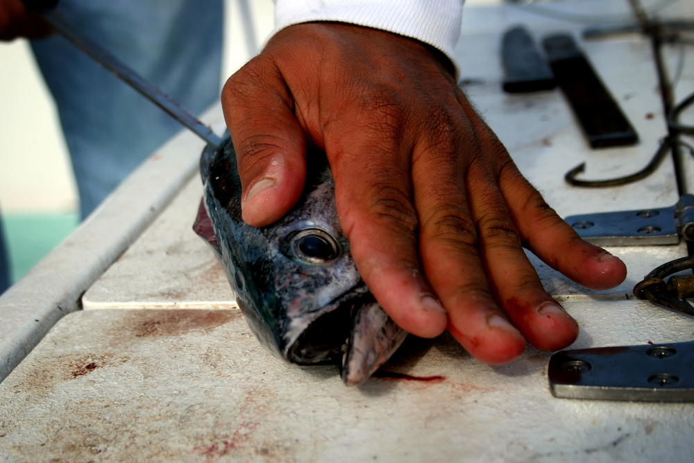 Captain Manny Sivina slices open a dead tuna to embed hooks into its sides and use it to bait larger fish like sharks.