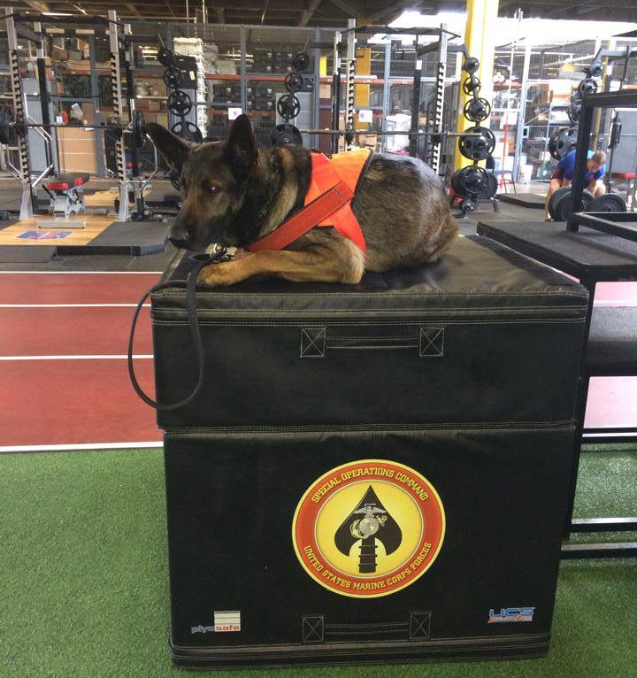 Munion is a MARSOC Critical Skills Operators Service Dog donated by Svallin.