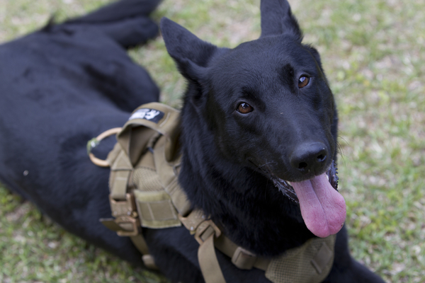 Jop a retired service animal donated to The Raider Project. Jop now supports a Critical Skills Operator at MARSOC.