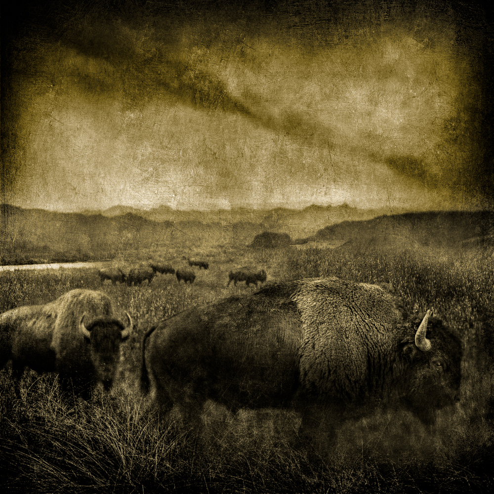 buffalo in the fogV2flat 43x43-Edit.jpg