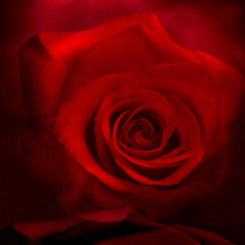 Red RoseV1L.jpg