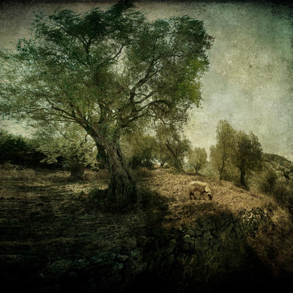 Olive_grove_12x12Print.jpg