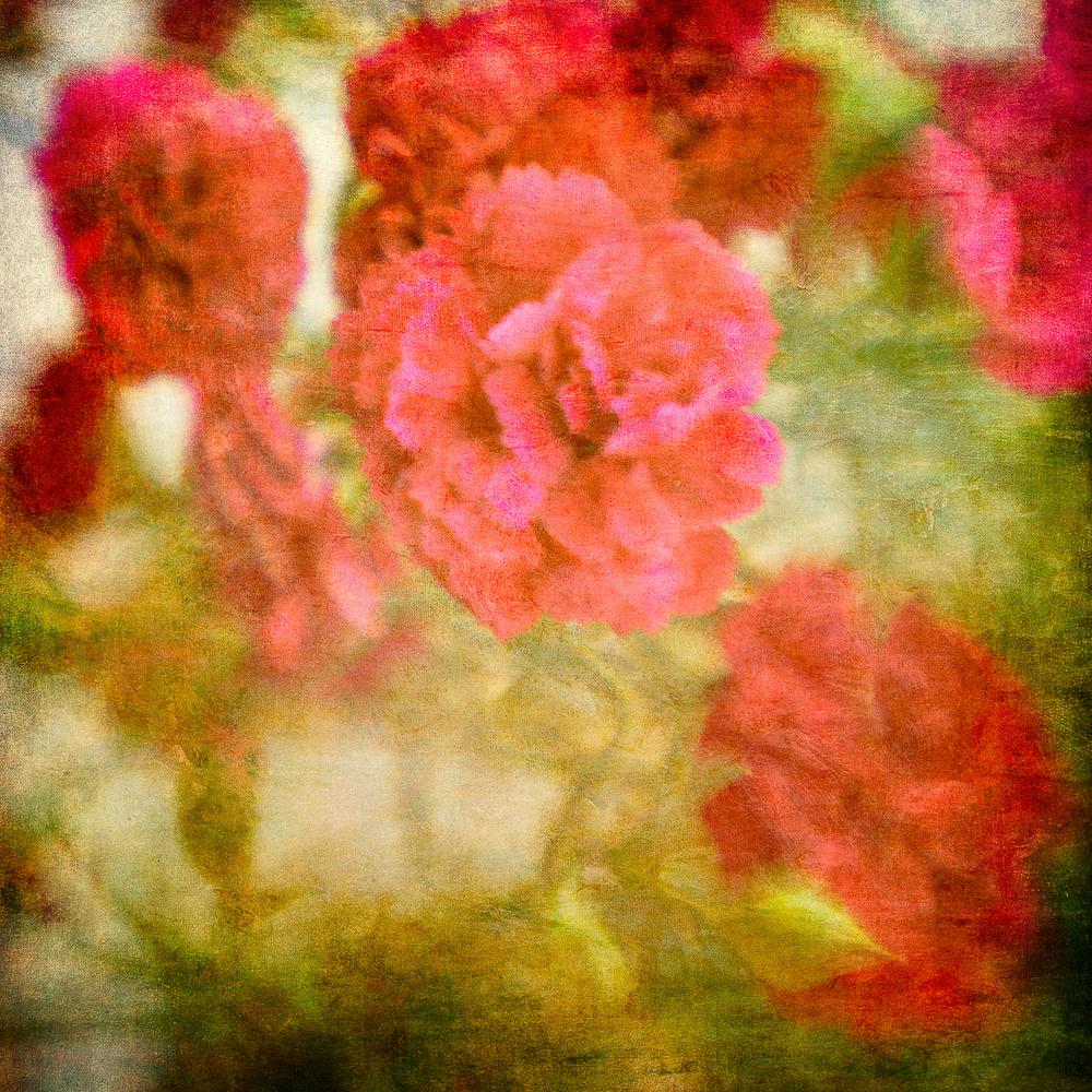 red carnations2.jpg