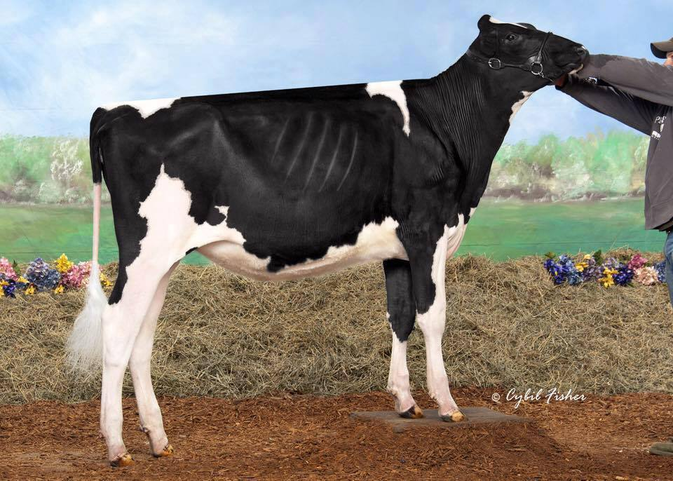 Fairmont Solomon Limrick-ET - Owned by Grant Vosters - 3rd Place Summer Yearling at the Wisconsin State Show