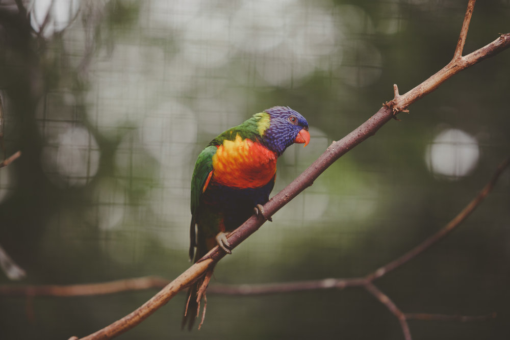 One of the many lorikeets that make up the lorikeet experience at the Birmingham Zoo in Birmingham, Alabama. (Photo by David A. Smith/DSmithScenes)