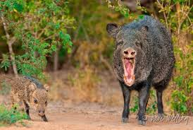 One more pissed-off Javelina.