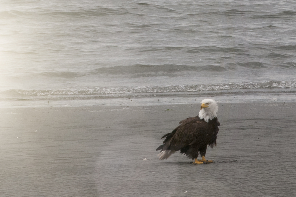 bald eagle, seattle, photographed on independence day in 2011.