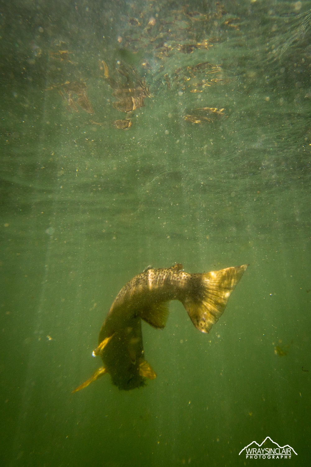 A Utah brown trout attempting to make his escape