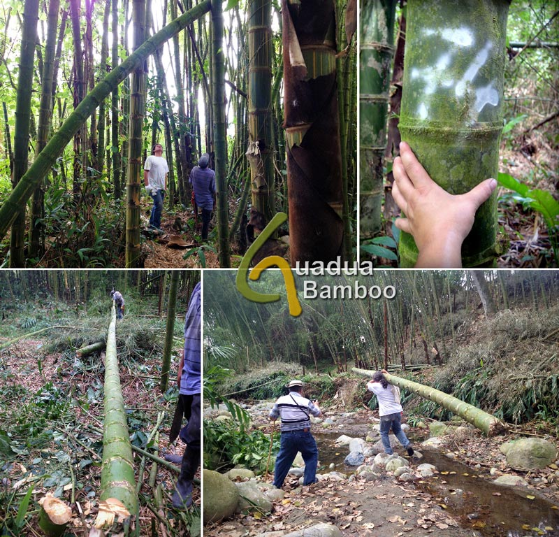 Selecting and Harvesting Guadua Bamboo Poles