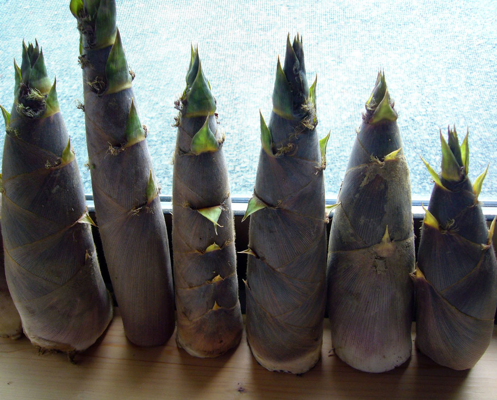 Edible Bamboo Shoots