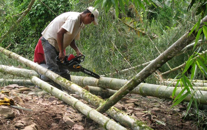 Cutting Guadua bamboo stems to appropriate lengths for transport.