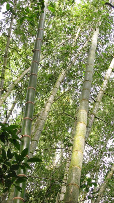 young-and-mature-bamboo.jpg