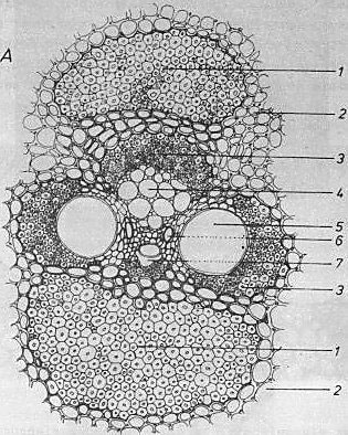 Fig.7 Composition of a bamboo vascular bundle