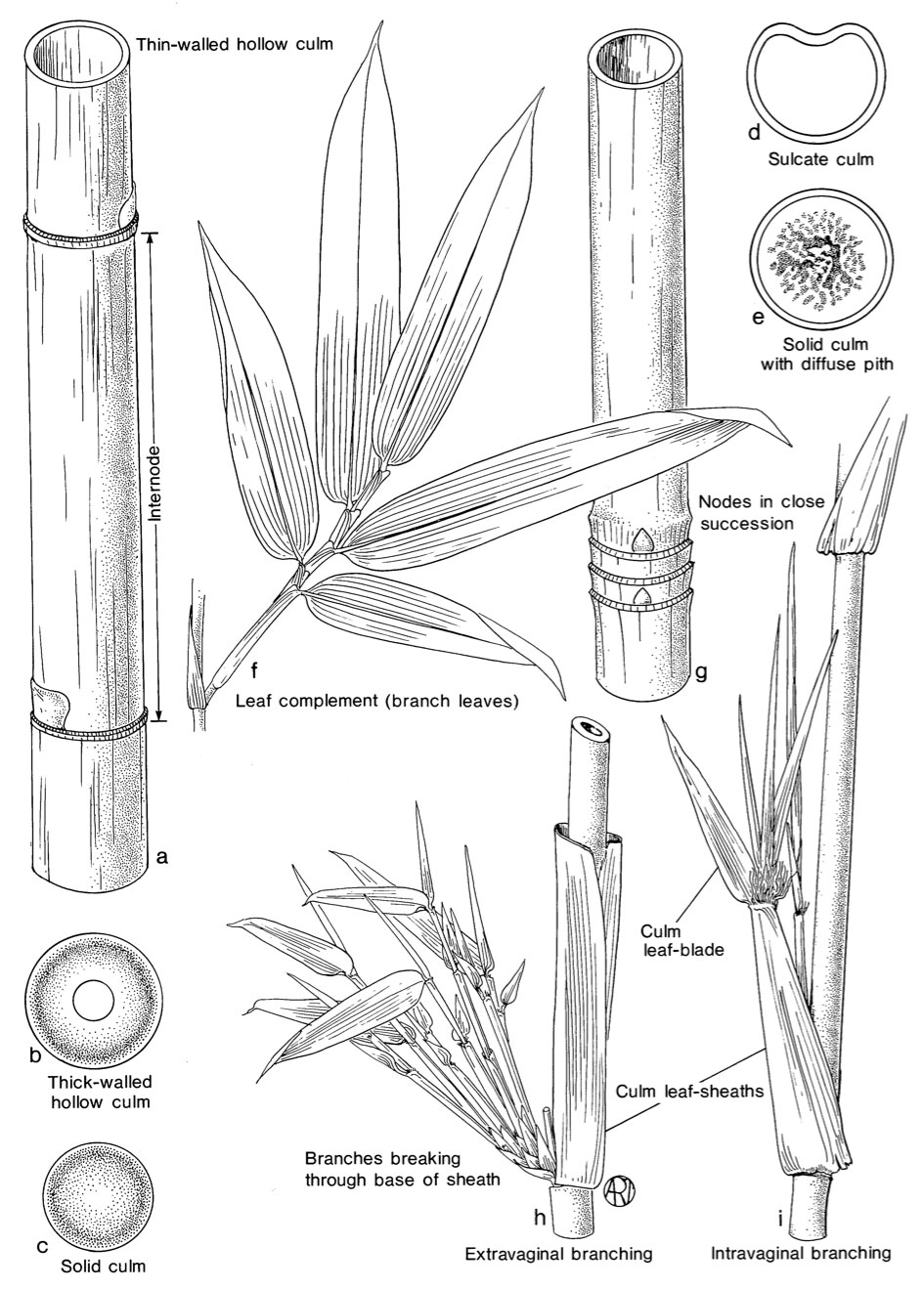 identification-bamboo-culm.jpg