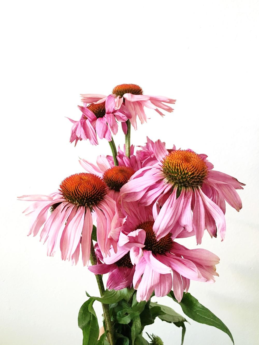 pinkconeflower.jpg