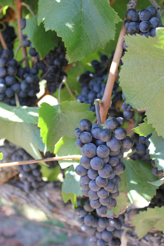 etude winery grapes vineyard
