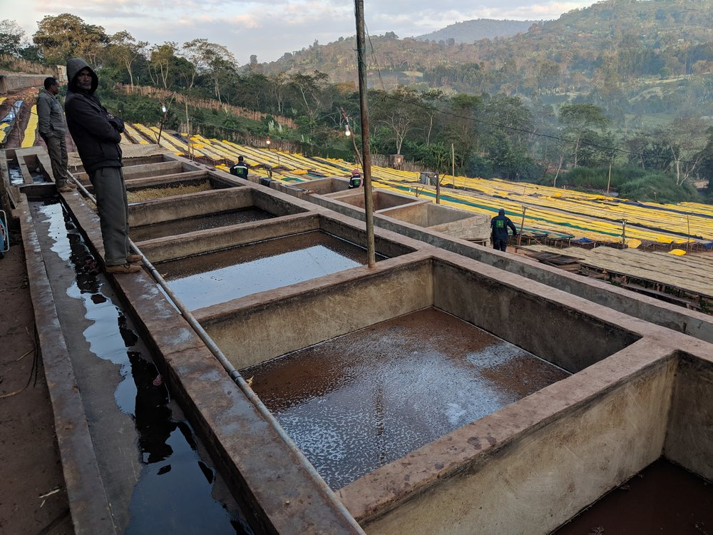 Early morning at Adola mill in Guji, Ethiopia overlooking the fermentation tanks and the raised beds with yellow plastic covering the beans from the dew.