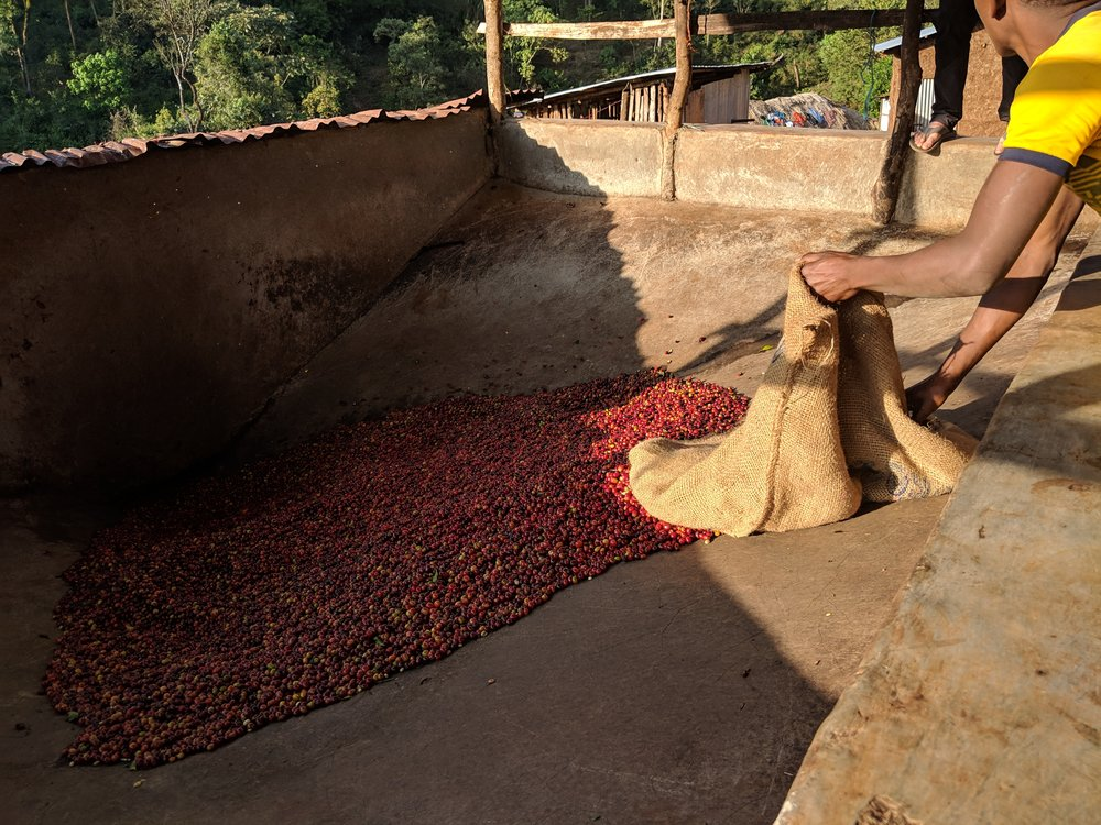 Cherries being received and funneled down to the de-pulper at Shimekt Daba's farm to be prepared as washed coffees.