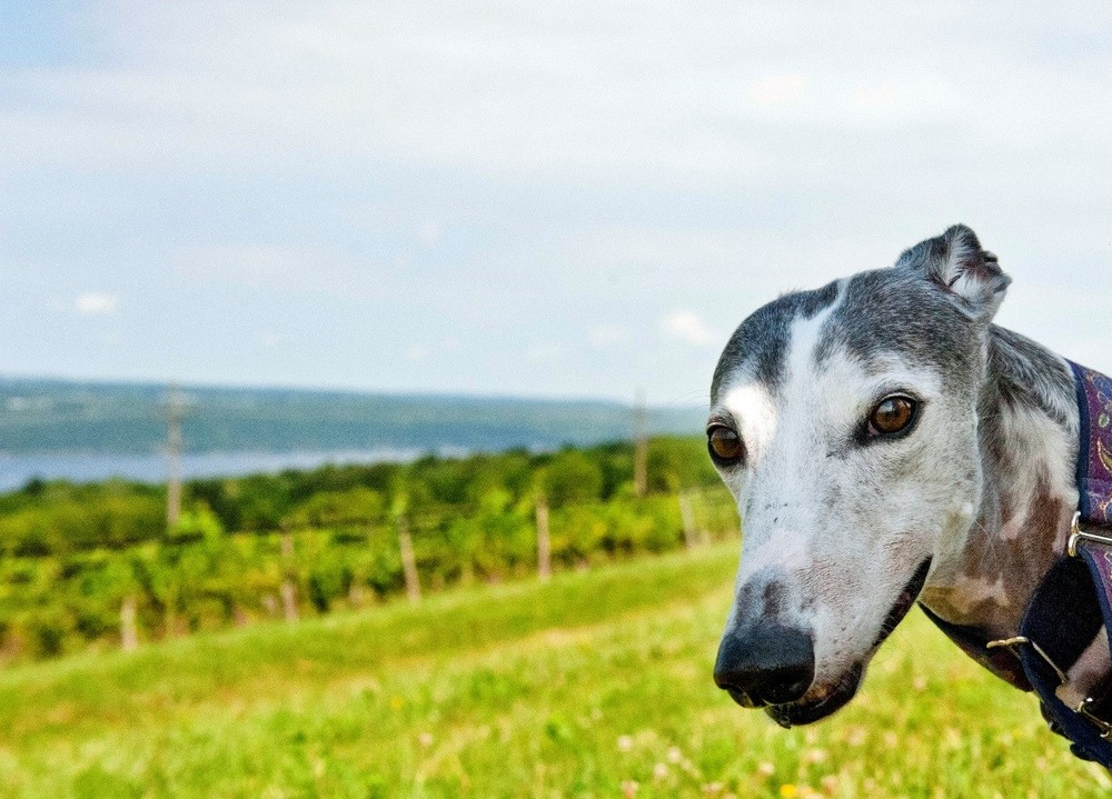 Meet Bella Como, beloved greyhound, best friend and Therapy Dog Extraordinaire.
