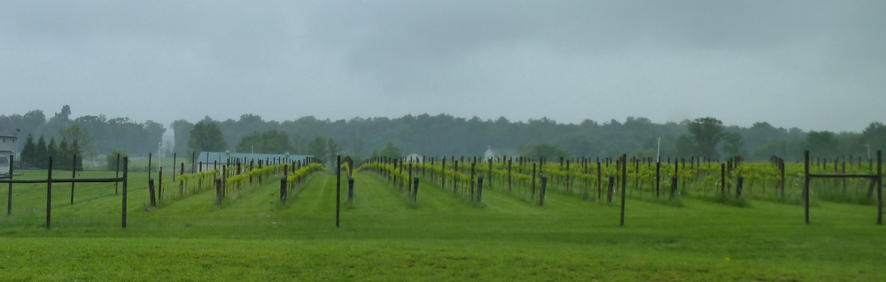 The rains watered the vines while we were all comfortable inside the tasting room!