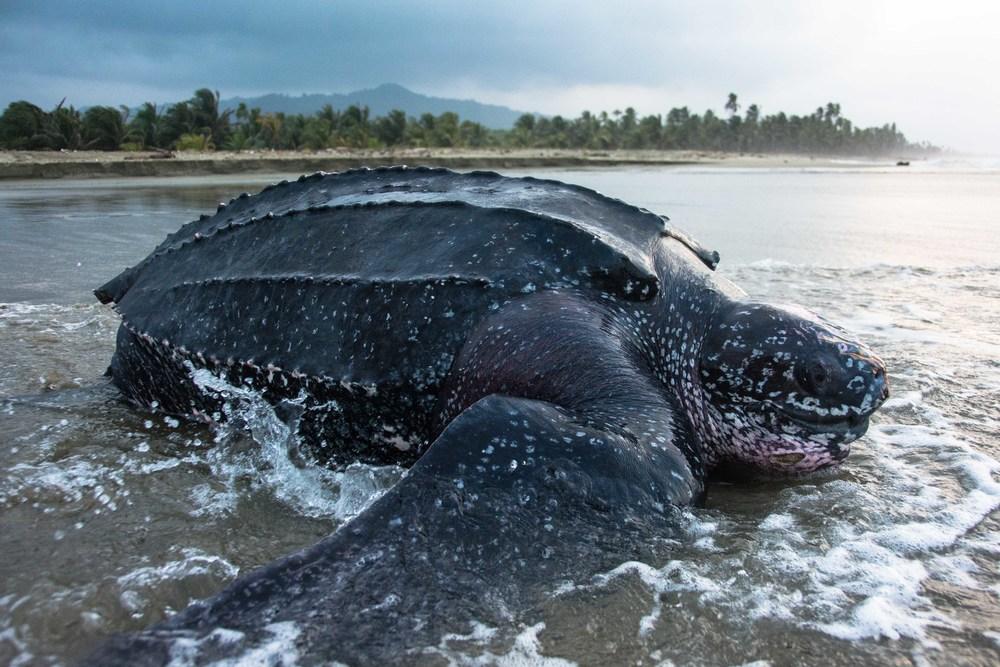 Hewan laut Langka penyu leatherback