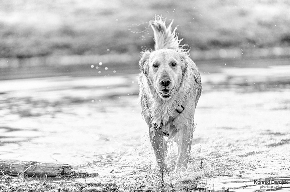 Coco - a golder retriever_2.jpg