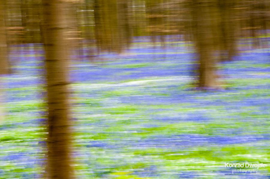Bluebells of Hallerbos, Belgium 2012