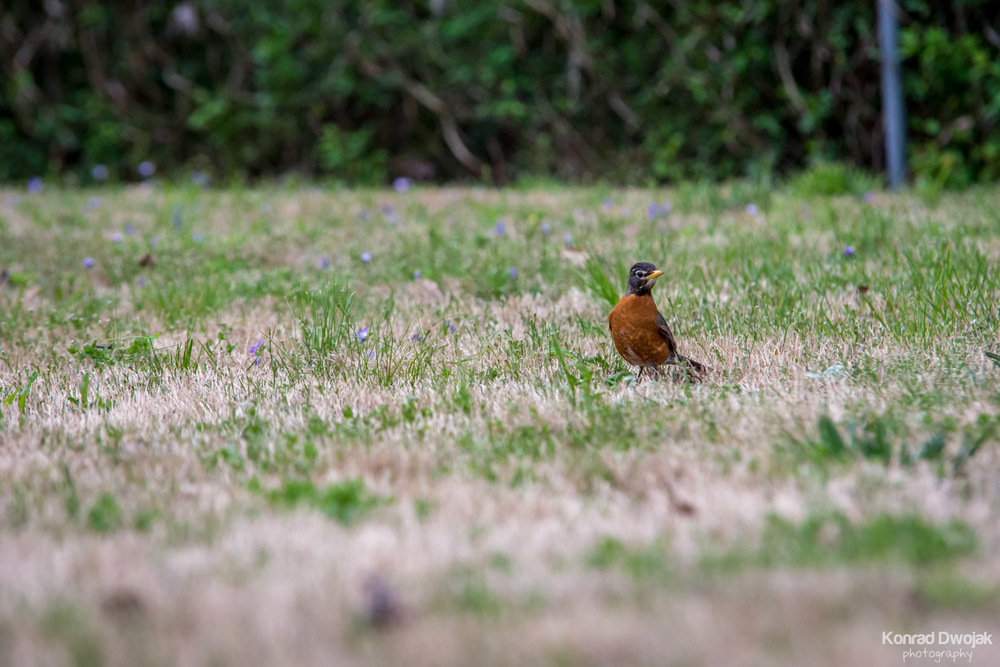 American robin (Turdus migratorius) looking for earthworms