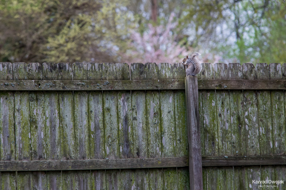 Eastern Gray Squirrel  (Sciurus carolinensis) sitting on a fence