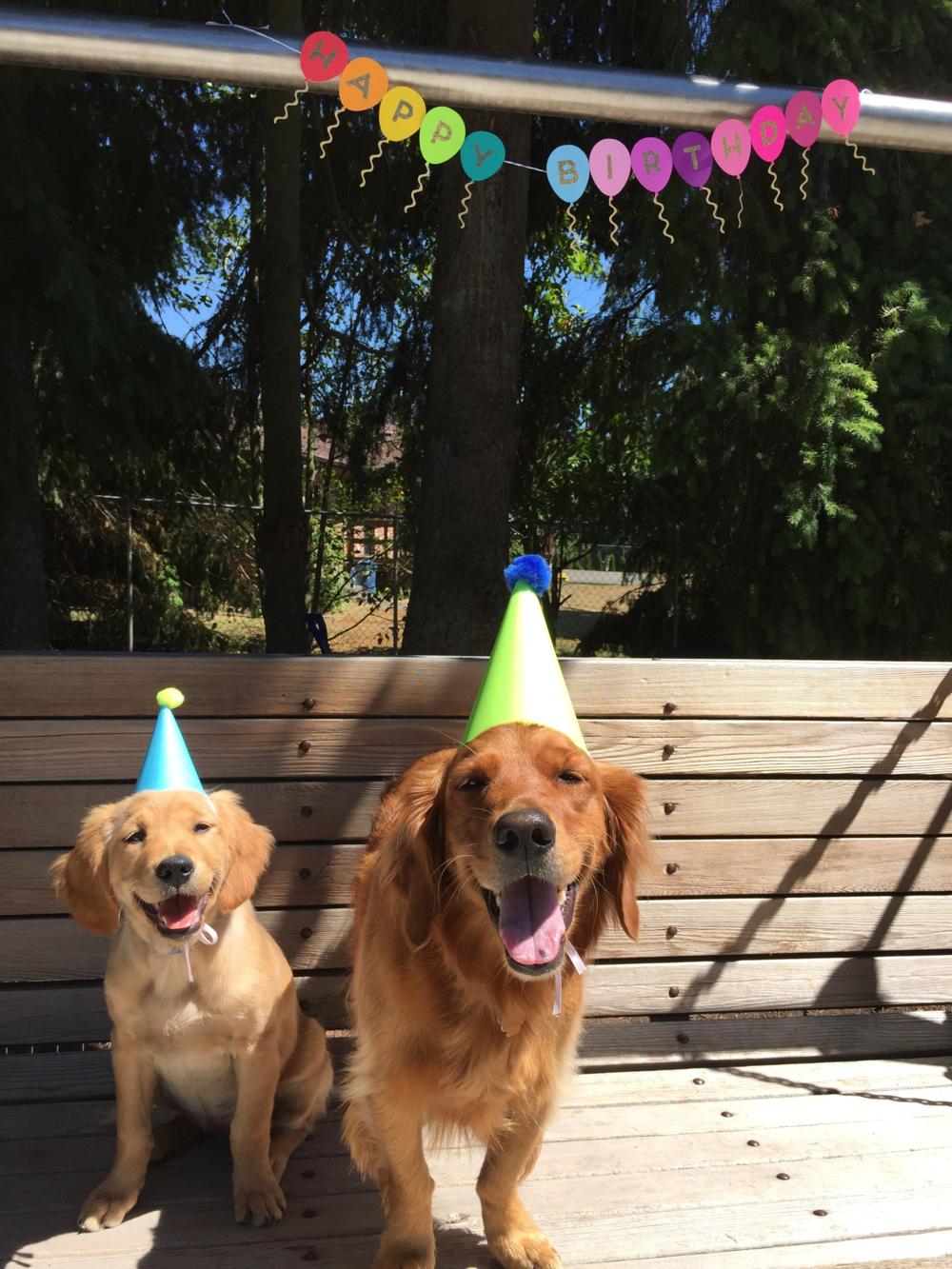 Puppy Golden Retrievers Wearing Party Hats