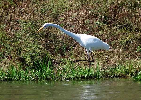 Egret hunting on the banks of the Fuerte River