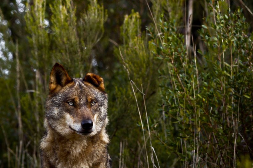 wolves.jpeg