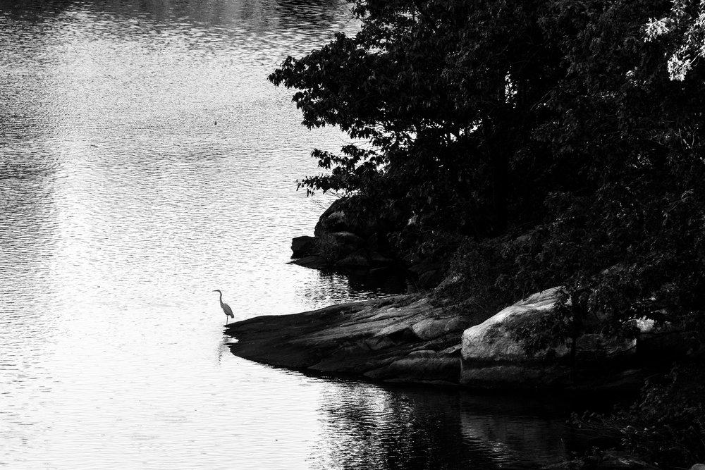 egrets1.jpg