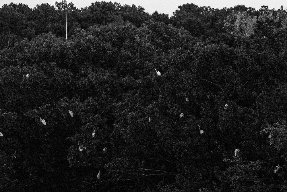 egrets7.jpg