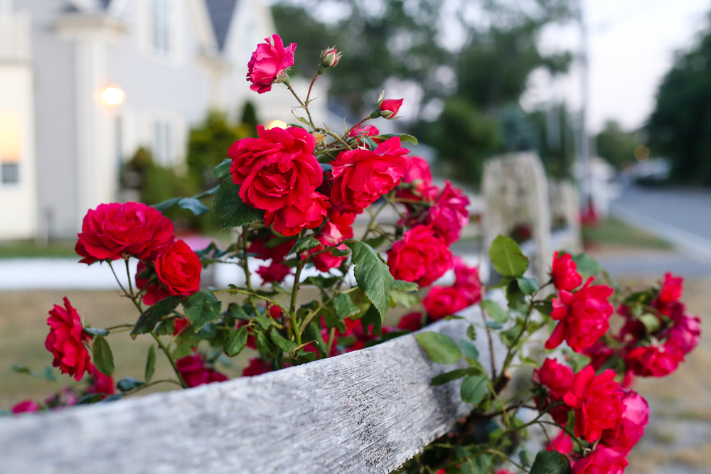 Roses in Cape Cod- Enchanting Elegance