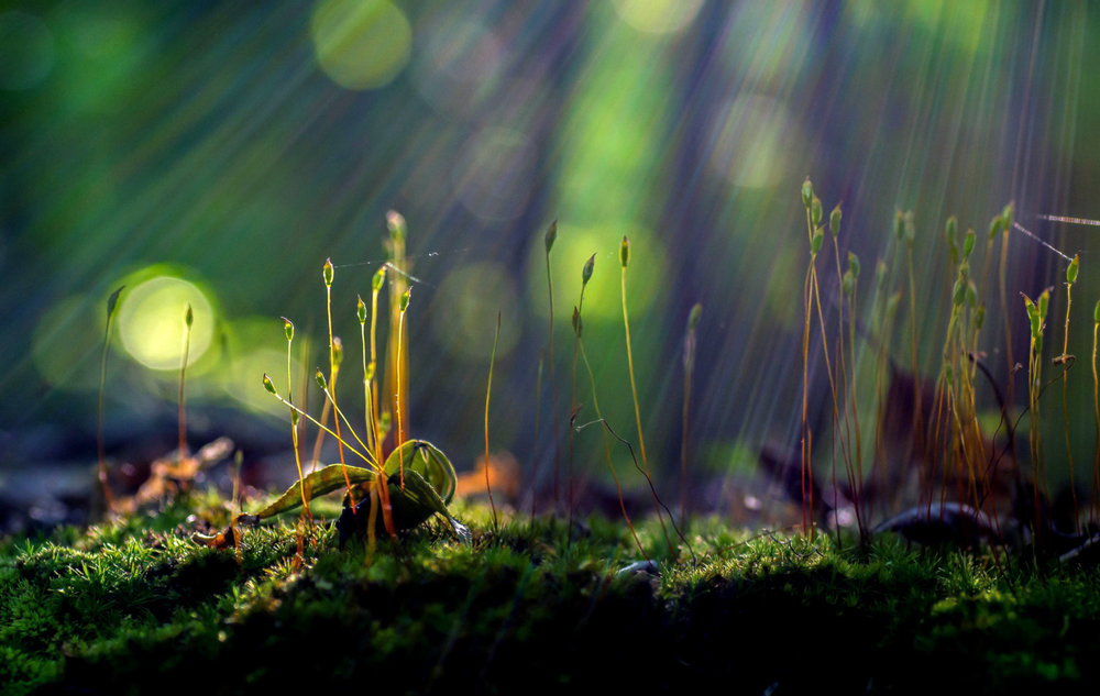 By photographing this forest macro landscape in manual mode from a low anglewhile moving around the subject, I was able to shape the sunlight to illuminate, silhouette, and provide depth to the delicate and intricate moss stems.