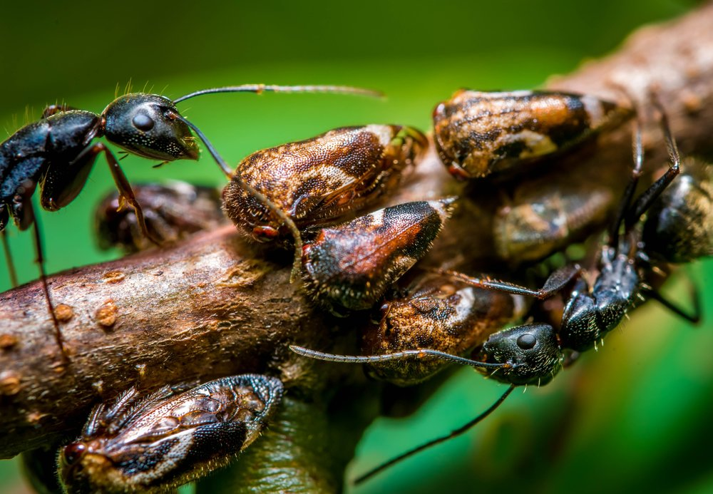 A group of tree hopper insects feeding on the fluids of a tree branch are protected from predators by a colony of ants. In exchange for their protection, the tree hoppers provide the ants with a sugary fluid from their abdomens.