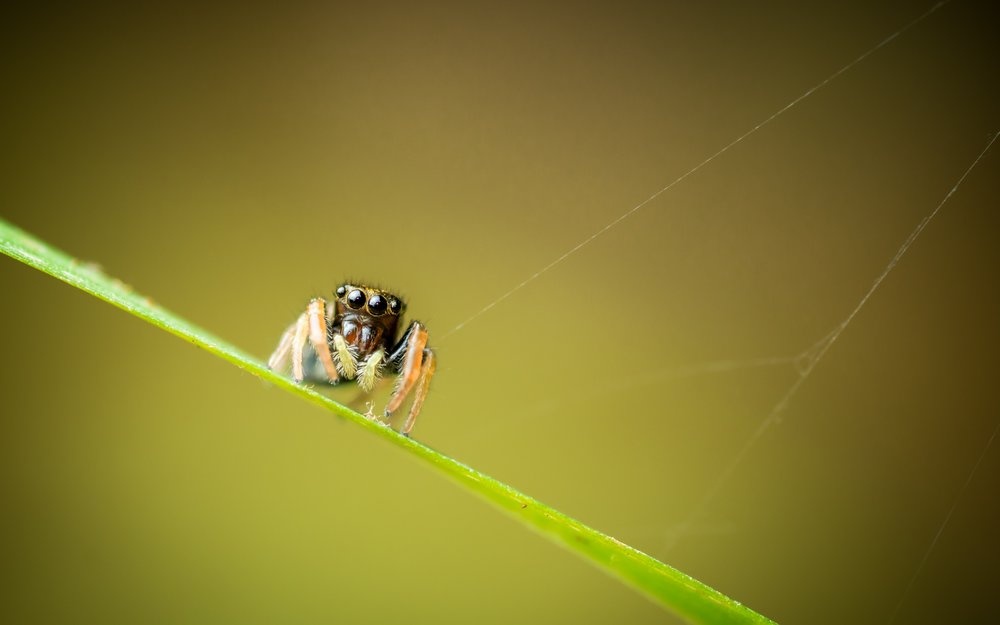 Spiderling Gaze