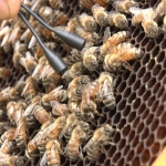 Photo 6 Bee_SharpSTILL_Queen_laying.jpg