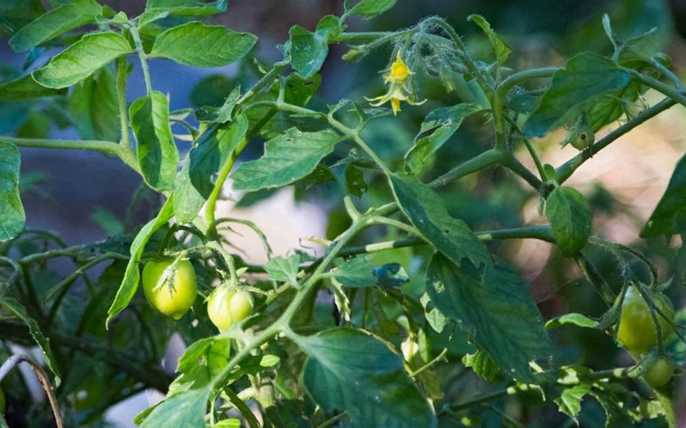Skarpen-Tomatplanta.jpg