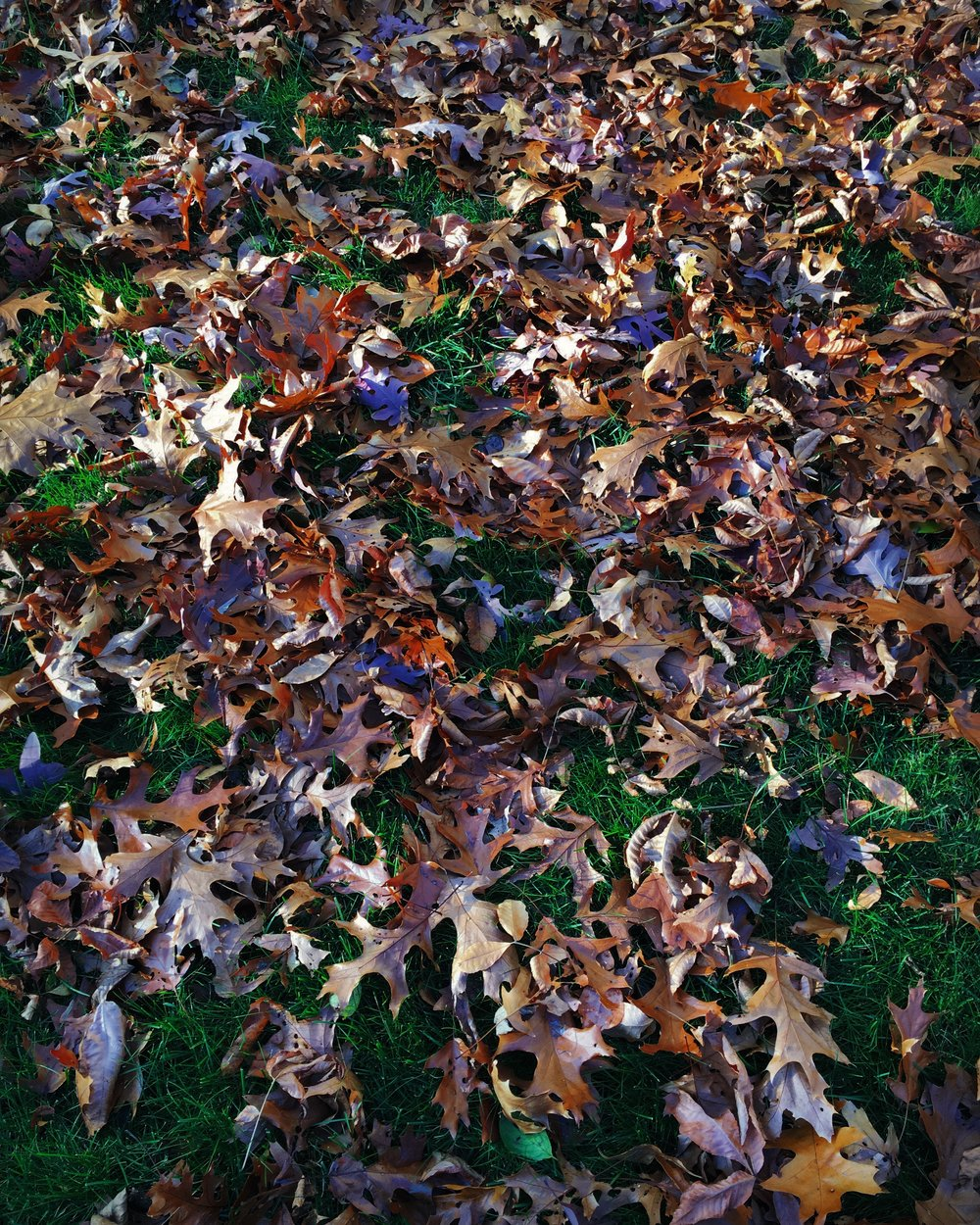 Leaves so pretty i successfully avoided raking them all week. not my best moment but... they look like confetti!
