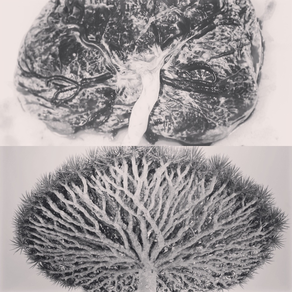 Socotra Dragon Tree vs Placenta