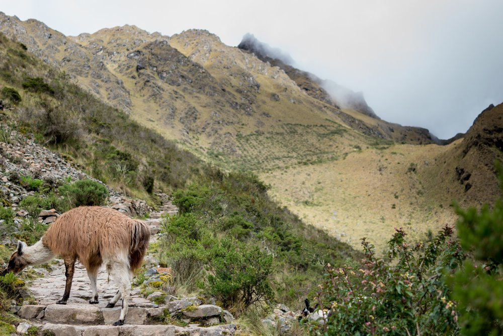 Another amazing photo by Sakib Alam on the way up to Dead Woman's pass. This was our first encounter with llamas on the trek! Photo cred: Sakib Alam.